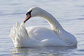 Mute swan (Cygnus olor) preening itself, Genève lake , Schwitzerland