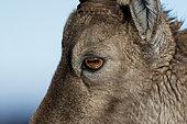 Alpine Ibex (Capra ibex) female eye detail, Suisse