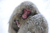 Japanese macaques (Macaca fuscata) snug under snow fall, Japanese Alps, Japan