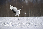 Japanese crane juvenile (Grus japonensis) playing with a snow ball , Hokkaido, Japan