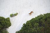 Caracal (Caracal caracal) crossing a white sand dune,De Hoop, South Africa