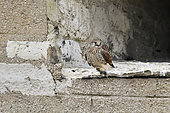 Common Kestrel (Falco tinnunculus) with rodent, castle of Vincennes, France