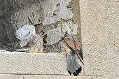 Common Kestrel (Falco tinnunculus) feeding with rodent, castle of Vincennes, France