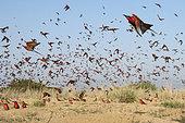 Guêpiers carmins (Merops nubicoides) en vol, colonie nicheuse sur les bord du Zambèze, Namibie