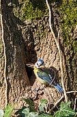 Blue Tit (Parus caeruleus) nest building, Beaulieu Park, Geneva, Switzerland.