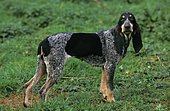 Little Blue Gascony Hound, Dog standing on Grass