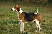 Poitevin Dog, Foxhound Male