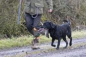 Hunting dog (Canis lupus familiaris) dog with a mallard, England, winter