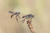 Robber fly (Heteropogon sp), (Heteropogon manicatus without a doubt), Dismplying of a couple in spring Acceptance of the female and approach of the male for mating in a dry prairie, Plaine des Maures, Les Mayons, Var 83, France