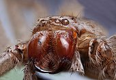Exoskeleton of an Australian huntsman spider.