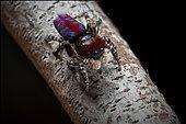 Peacock spider (Maratus bubo) from Western Australia.