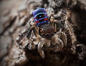 """Male Maratus karrie """"peacock jumping spider from Western Australia"""