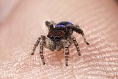 A male Maratus karrie (peacock spider) sitting on my thumb.