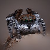 """A male Maratus pardus """"Peacock jumping spider""""."""