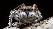 """A close up shot of a male Maratus pardus """"peacock jumping spider""""."""