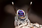 """A male Maratus speciosus """"peacock jumping spider"""" performing mating courtship dance for a female spider."""