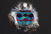 """A shot showing the back patterns and colours of a Male Maratus speciosus """"peacock spider""""."""
