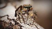 "male Maratus maritimus ""peacock jumping spider"""
