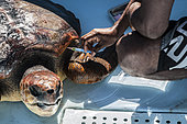 Nurse administering an injection to an injured Loggerhead sea turtle, at the Kelonia health care centre, Reunion Island