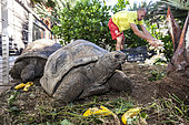 """Thomas feeding the giant tortoises at the KELONIA centre, in Reunion Island. Herbivorous, carnivorous, injured, recovering, in the best of shape... Each turtle enjoys a personalized treatment according to its needs and food preferences. Since sea turtles have become a protected species and the trade of their meat and shell has been banned, the """"Ferme Corail"""" in the Reunion Island, specialized in sea turtle farming for human consumption, reinvented itself in 1997 into turtle's conservation activities. The structure named """"KELONIA"""" grew and is now dedicated to their protection via a health care center that takes in a large number of injured turtles every week in order to heal them and release them in the ocean – after several weeks of treatment in some cases. Kelonia is also trying to put emphasis on the general public's awareness. That's why a museum and aquariums with turtles from all around the Reunion seas were created. And, the turtles, which are living within the aquarium, enable the biologists to go further in their studies of those rare species that are difficult to observe in nature. When released, some turtles are thus equipped with Argos beacons thanks to which we can know their movement in the ocean better and so, refine the protection of their natural environment."""