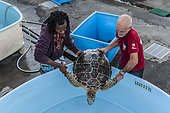 """Stephane Ciccione (red tshirt), manager of the KELONIA centre in Reunion Island, carrying a recovering loggerhead turtle in a pool with the help of a nurse. Since sea turtles have become a protected species and the trade of their meat and shell has been banned, the """"Ferme Corail"""" in the Reunion Island, specialized in sea turtle farming for human consumption, reinvented itself in 1997 into turtle's conservation activities. The structure named """"KELONIA"""" grew and is now dedicated to their protection via a health care center that takes in a large number of injured turtles every week in order to heal them and release them in the ocean – after several weeks of treatment in some cases. Kelonia is also trying to put emphasis on the general public's awareness. That's why a museum and aquariums with turtles from all around the Reunion seas were created. And, the turtles, which are living within the aquarium, enable the biologists to go further in their studies of those rare species that are difficult to observe in nature. When released, some turtles are thus equipped with Argos beacons thanks to which we can know their movement in the ocean better and so, refine the protection of their natural environment."""