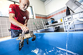 Stéphane Ciccione, manager of KELONIA, putting a recovering turtle in a pool at the health care centre, Reunion Island