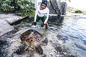 """Alain, a healer at Kelonia in the Reunion Island is taking a turtle out of the public aquarium so he can brush her and take the seaweeds that are growing on its shell away. This 206-kg green sea turtle was born in th ecentre in 1989 (26 years old) and named Sandrine. In the absence of their natural commensals, algaes and other parasites tend to develop on sea turtles. Since sea turtles have become a protected species and the trade of their meat and shell has been banned, the """"Ferme Corail"""" in the Reunion Island, specialized in sea turtle farming for human consumption, reinvented itself in 1997 into turtle's conservation activities. The structure named """"KELONIA"""" grew and is now dedicated to their protection via a health care center that takes in a large number of injured turtles every week in order to heal them and release them in the ocean – after several weeks of treatment in some cases. Kelonia is also trying to put emphasis on the general public's awareness. That's why a museum and aquariums with turtles from all around the Reunion seas were created. And, the turtles, which are living within the aquarium, enable the biologists to go further in their studies of those rare species that are difficult to observe in nature. When released, some turtles are thus equipped with Argos beacons thanks to which we can know their movement in the ocean better and so, refine the protection of their natural environment."""