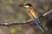 European Bee-eater (Merops apiaster) with wasp on a branch, France