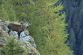 Red Deer (Cervus elaphus) during the slab period, Valais Alps, Switzerland