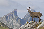 Alpine Ibex (Capra ibex) female, Valais Alps, Switzerland.