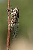 Grey cicada (Cicada orni), Les Follatères près de Martigny, Valais, Switzerland
