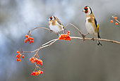 Couple of Goldfinches (Carduelis carduelis) on a branch of Mooseberry, Regional Natural Park of the Vosges du Nord, France