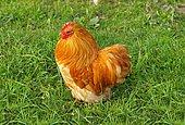 Young Appenzeller cock, Appenzell, Switzerland, Europe