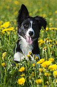 Border collie, puppy with one ear hanging down, sitting on a meadow with dandelions