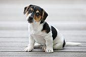 Jack Russell Terrier, puppy sitting on wooden floor, northern Tyrol, Austria, Europe
