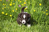 Miniature American Shepherd or Miniature Australian Shepherd or Mini Aussie puppy, Red Tri, in flower meadow