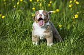 Miniature American Shepherd or Miniature Australian Shepherd or Mini Aussie puppy, Red Merle, standing in flower meadow, yawning