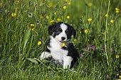 Miniature American Shepherd or Miniature Australian Shepherd or Mini Aussie puppy, Black Tri, sitting in flower meadow