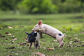 Baby domestic pig in Bardia national park, Nepal