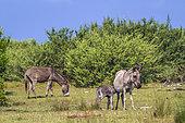 Mannar donkeys in Kalpitiya, Sri Lanka