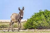 Mannar donkey in Kalpitiya, Sri Lanka