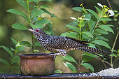 Asian koel (Eudynamys scolopaceus) on a pot, Minneriya national park, Sri Lanka