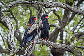 Bateleur Eagle (Terathopius ecaudatus) couple on a branch, Kruger National park, South Africa