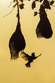 Baya Weaver (Ploceus philippinus) in flight and nests, Minneriya national park, Sri Lanka