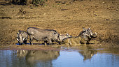 Common warthog (Phacochoerus africanus) in water, Kruger National park, South Africa