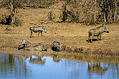 Common warthog (Phacochoerus africanus) on bank, Kruger National park, South Africa