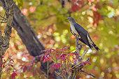 Eurasian cuckoo (Cuculus canorus) on a branch, Bardia national park, Nepal
