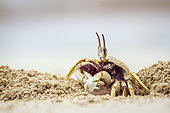 Horned Ghost crab (Ocypode ceratophthalma) digging, Koh Muk, Thailand
