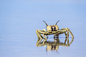 Horned Ghost crab (Ocypode ceratophthalma), Koh Muk, Thailand