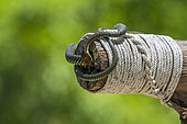 Golden flying snake (Chrysopelea ornata), Ko Adang, Tarutao, Thailand